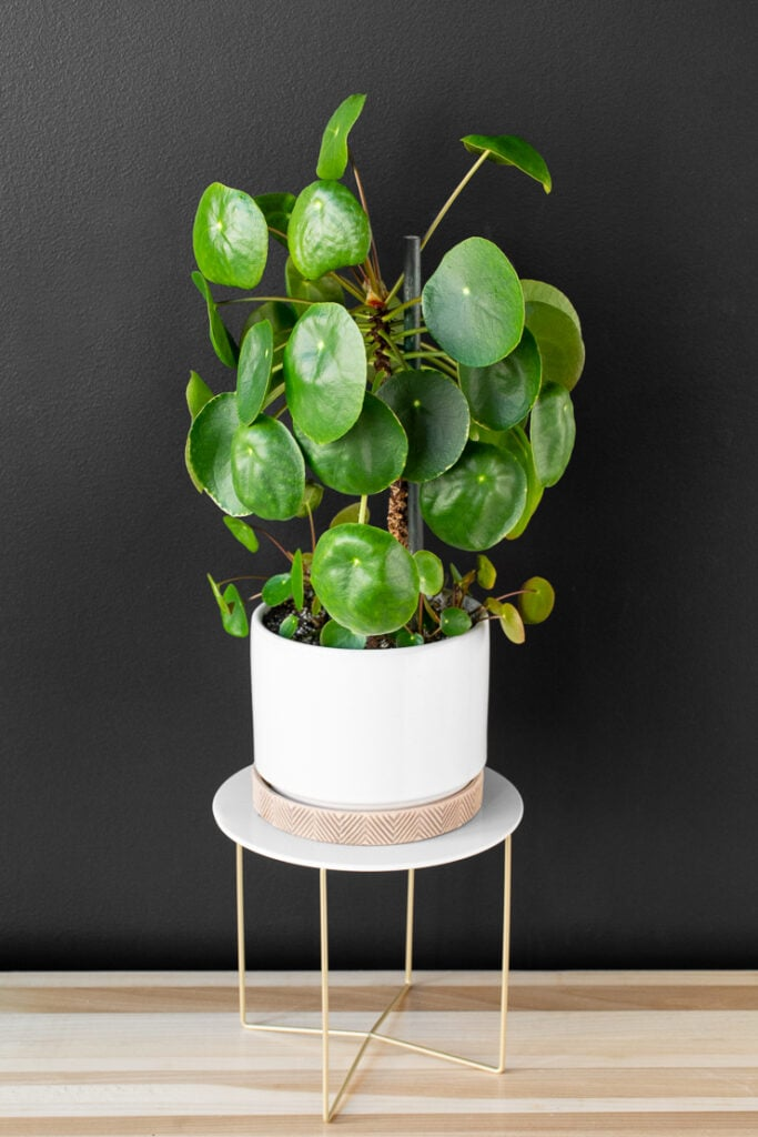 pilea peperomioides plant on a table against a black wall