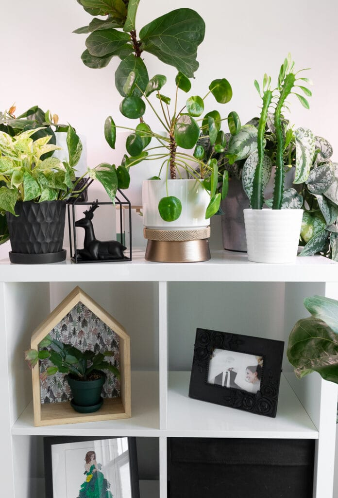 pilea peperomioides plant on a shelf with other plants