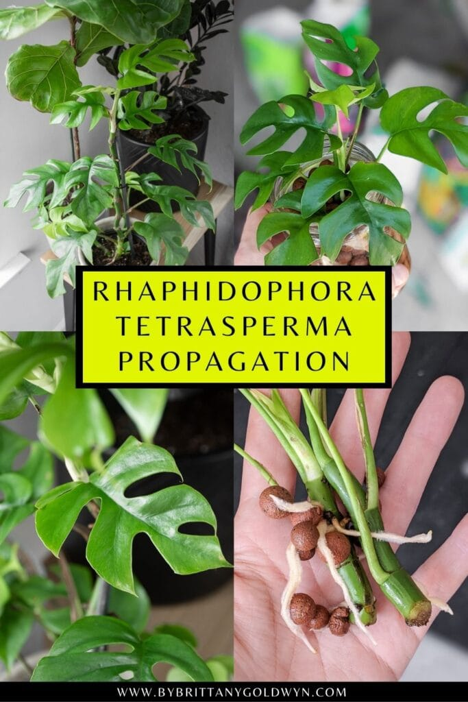 pinnable graphic about propagating rhaphidophora tetrasperma including images and text overlay
