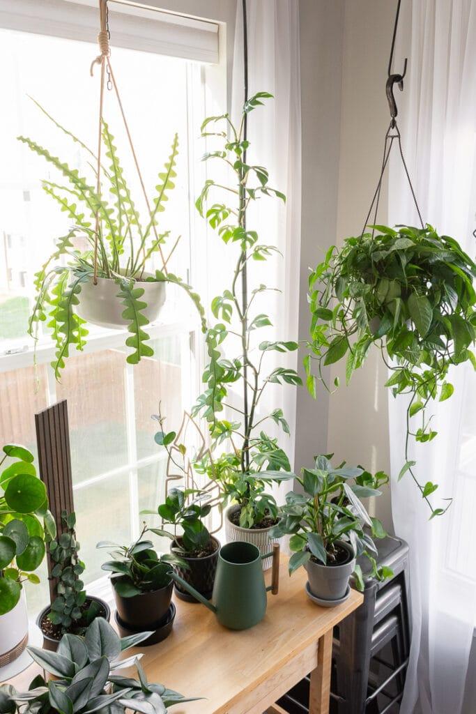 climbing rhaphidophora tetrasperma plant