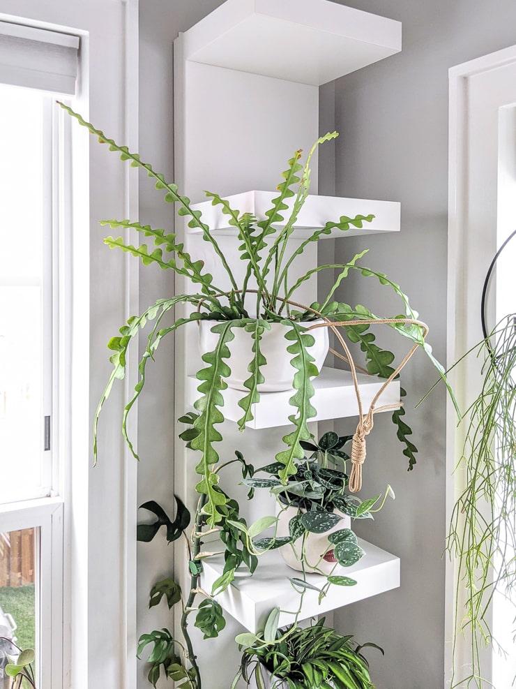 fishbone cactus on white shelving