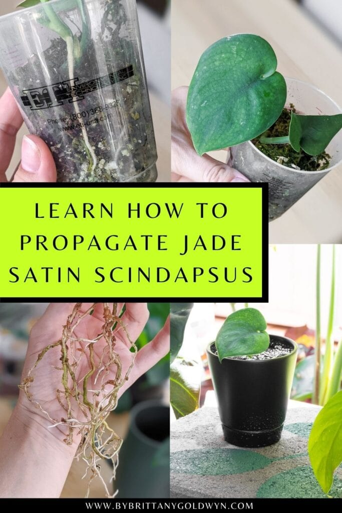 pinnable graphic about how to root jade satin scindapsus including text overlay and images