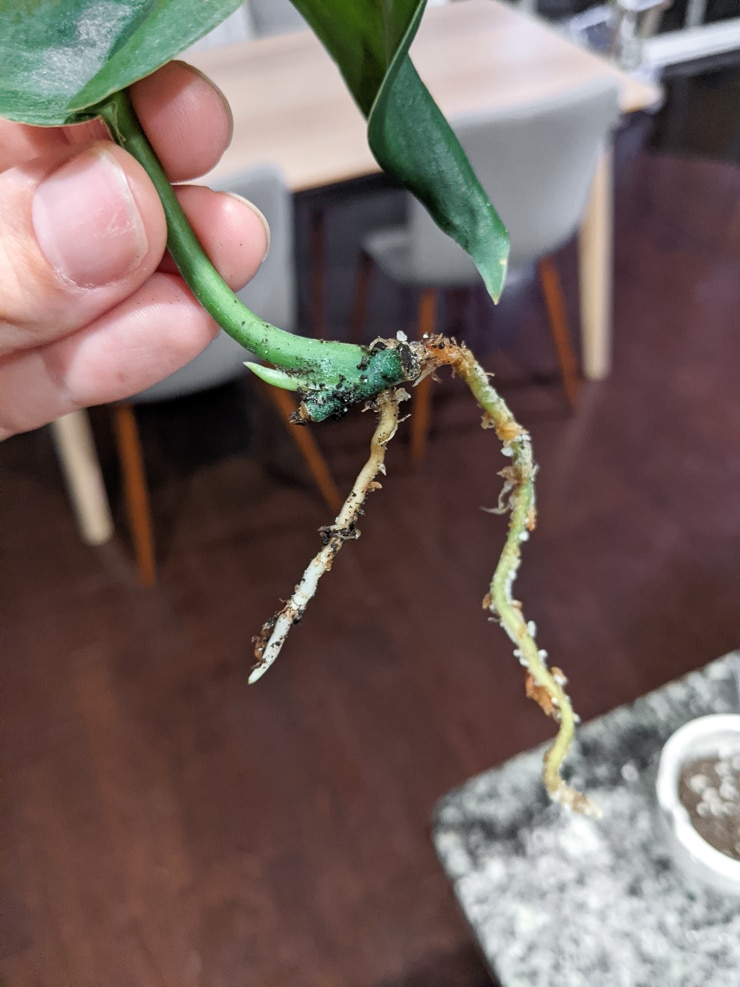 small roots on a jade satin scindapsus cutting