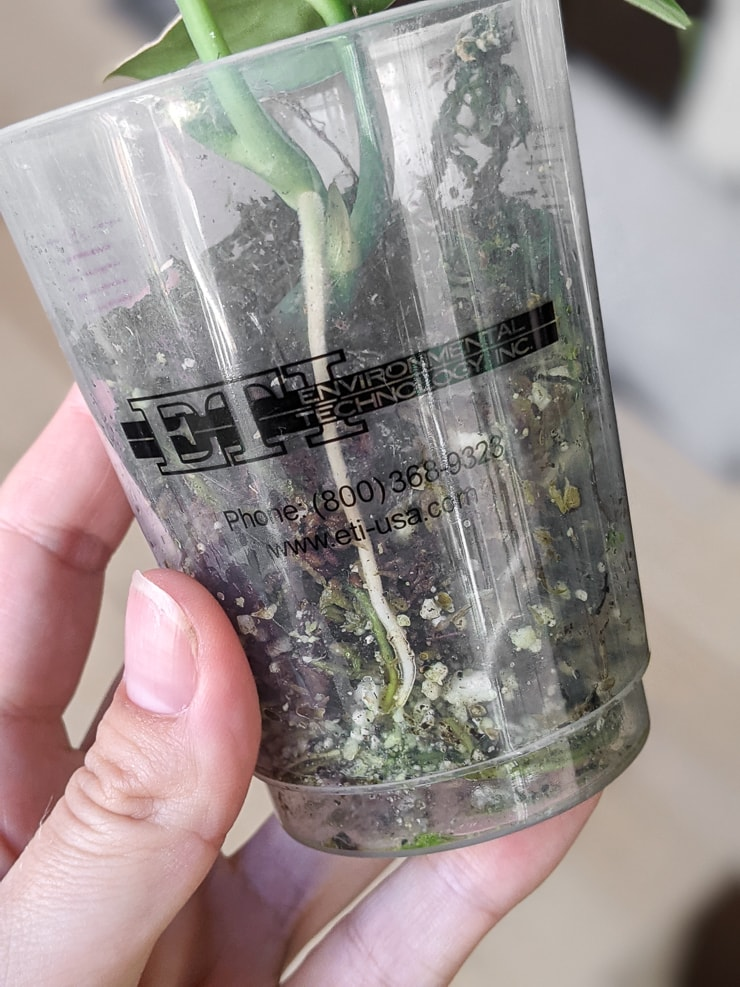jade satin scindapsus rooting in moss