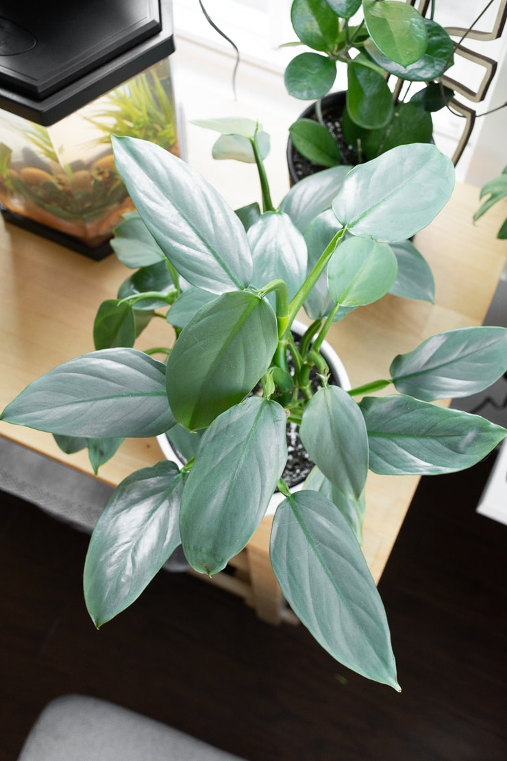 Beautiful Silver Sword Philodendron