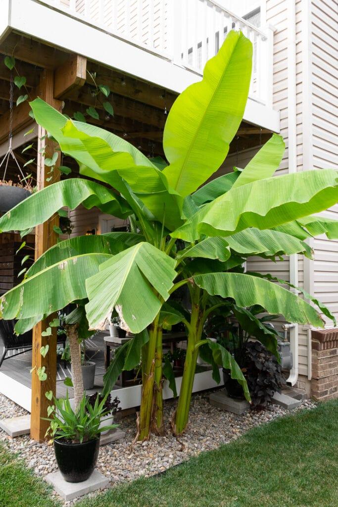huge banana plant in a townhouse backyard