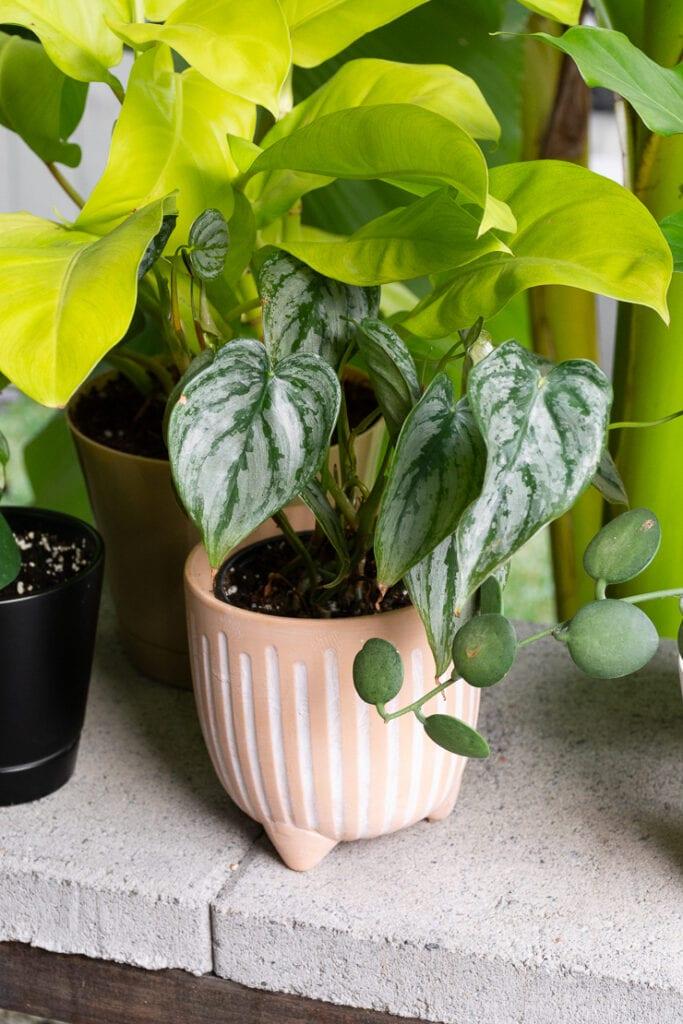 philodendron brandi plant