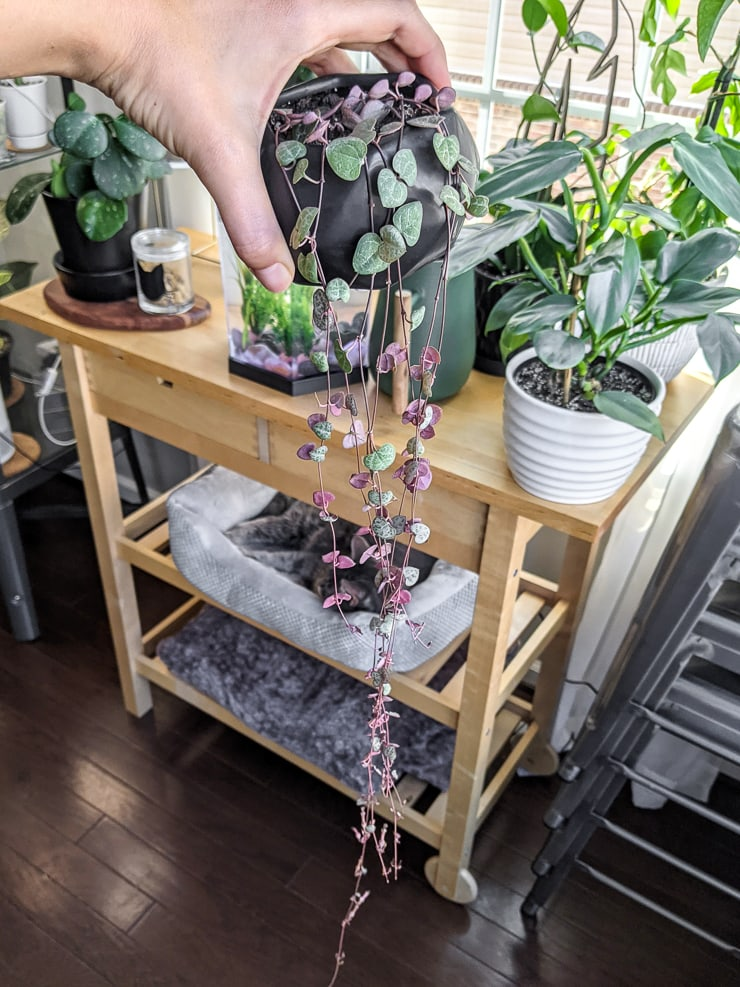 long string of hearts plant