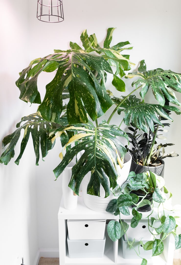 beautiful large thai constellation monstera plant