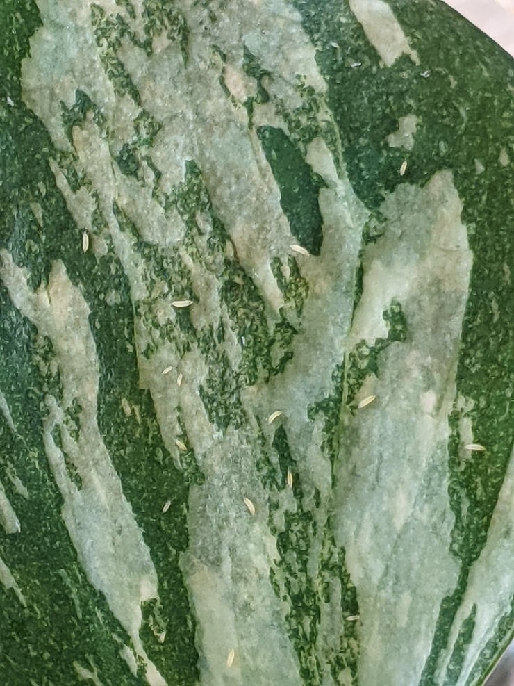 Thrips larvae on a thai constellation monstera leaf