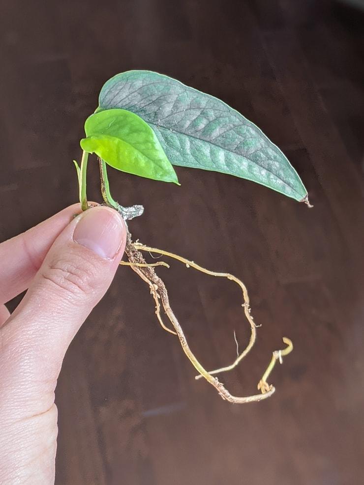 small propagated piece of cebu blue pothos