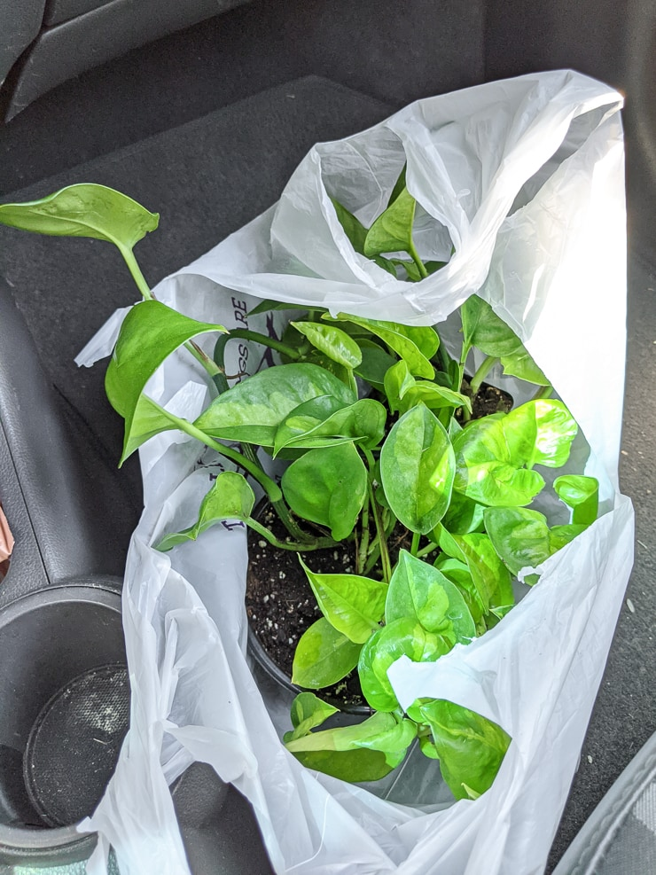 global green pothos plant in a bag
