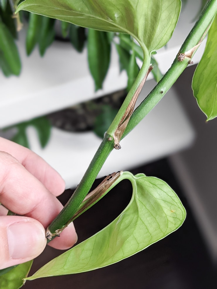 stem on a pothos plant