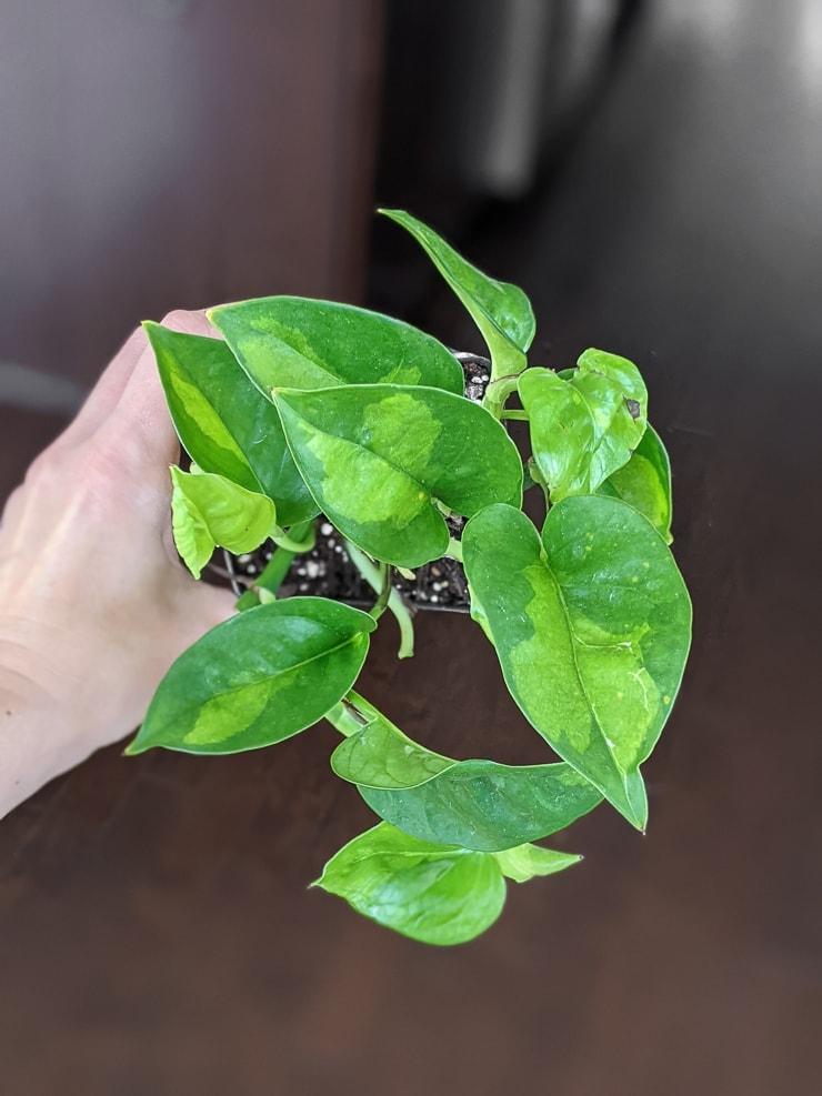 small global green pothos plant