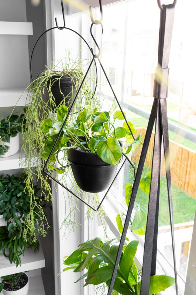 hanging plants in a window including a rhipsalis trailing cactus, a global green pothos, and a fern leaf cactus