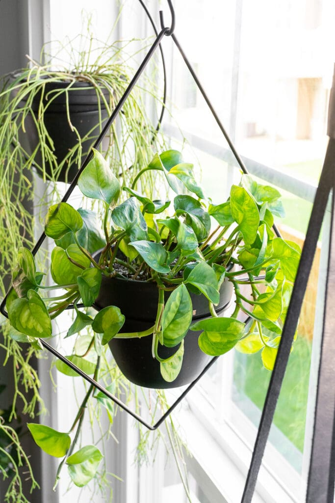 hanging plants in a window including a rhipsalis trailing cactus and a global green pothos
