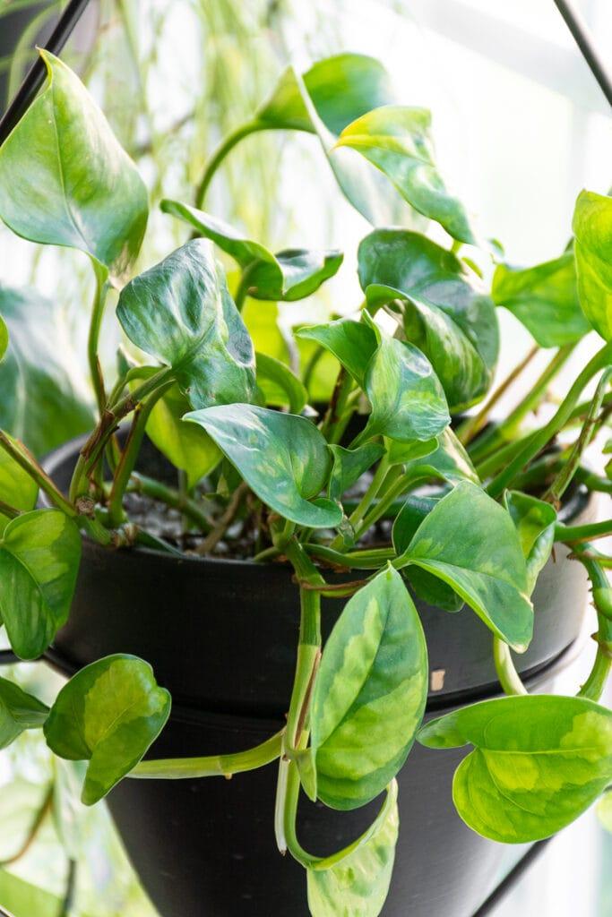 global green pothos foliage