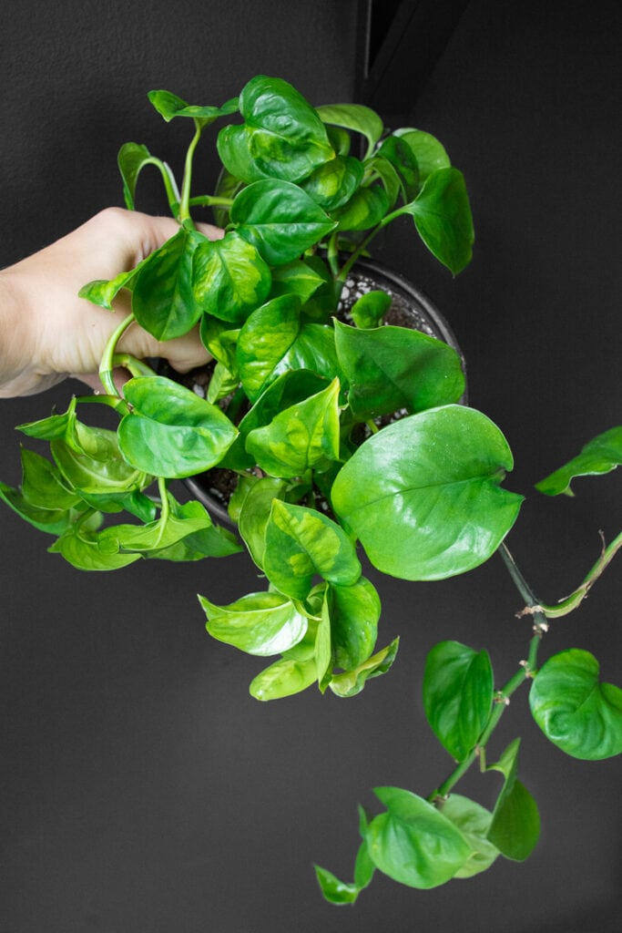 beautiful global green pothos plant held up against a black wall