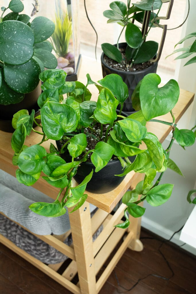 global green pothos plant on a bar cart with other plants