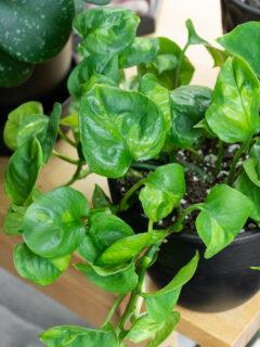 closeup shot of global green pothos leaves