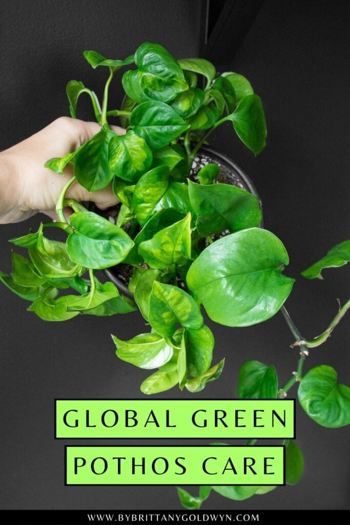 pinnable graphic about global green pothos care including images and text overlay