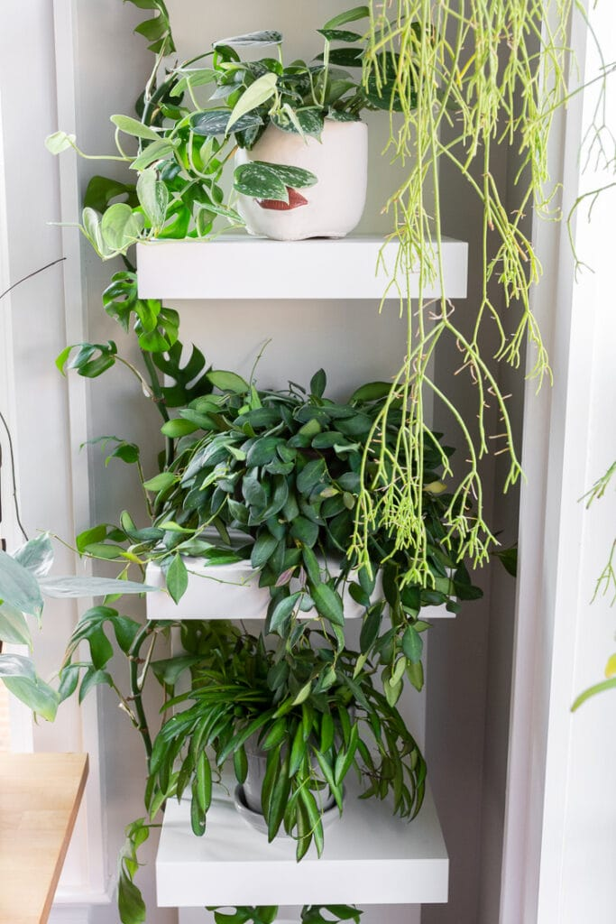 trailing hoya bilobata plant on an Ikea lack shelf with other plants