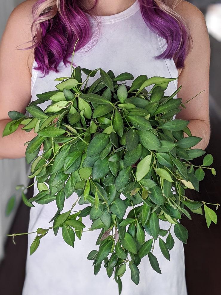 woman holding a hoya bilobata plant