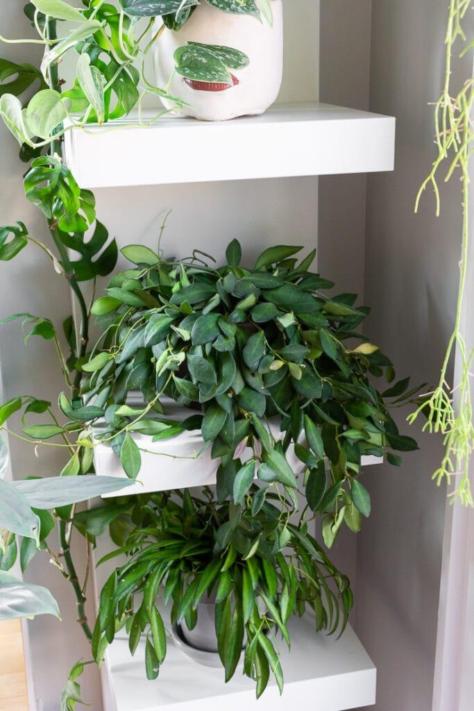 hoya bilobata on a shelf with a hoya wayetii