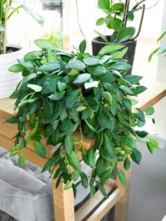 hoya bilobata plant
