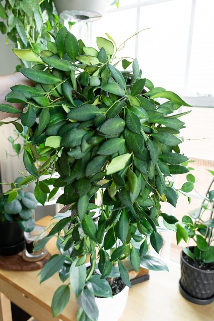 beautiful trailing hoya bilobata plant