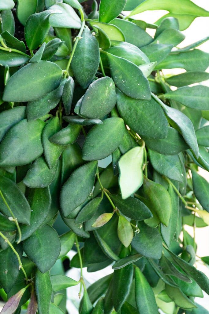 hoya bilobata plant foliage