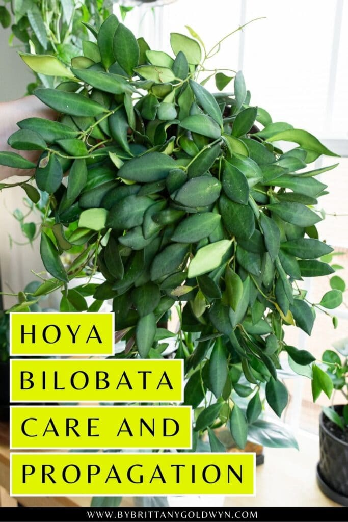 pinnable graphic about hoya bilobata care and propagation including an image and text overlay
