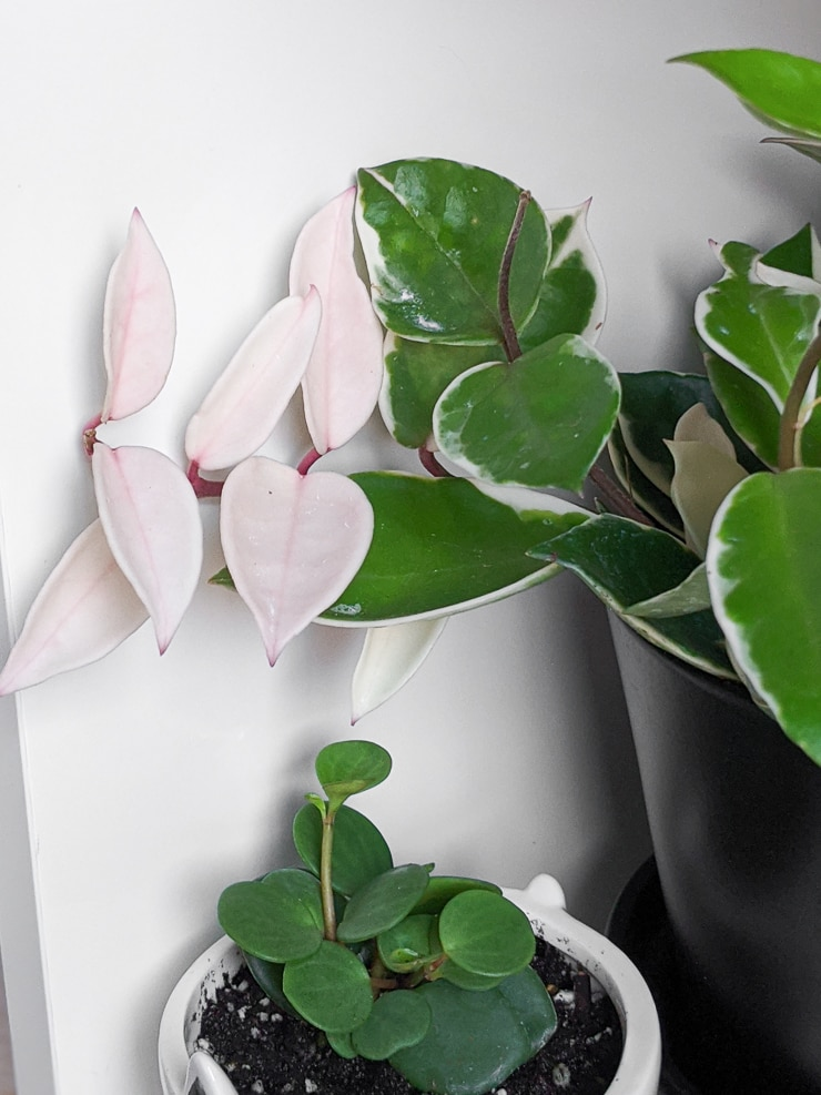 all white hoya carnosa krimson queen foliage