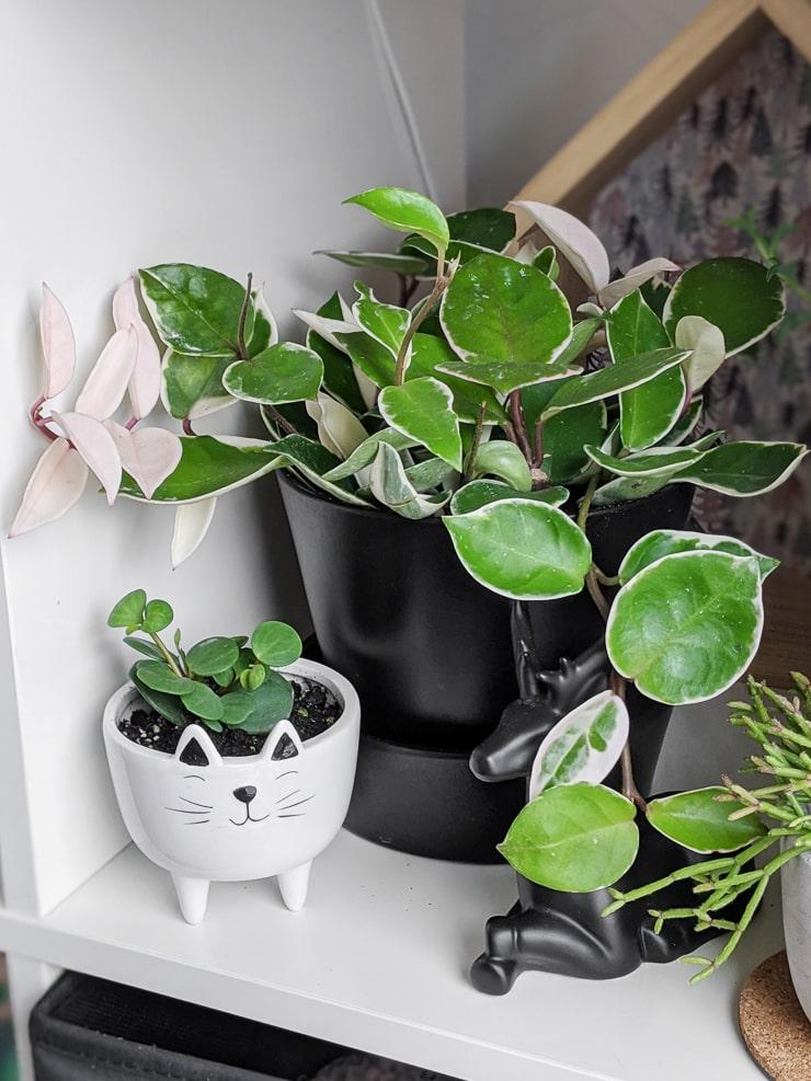 how carnosa krimson queen plant in a black pot