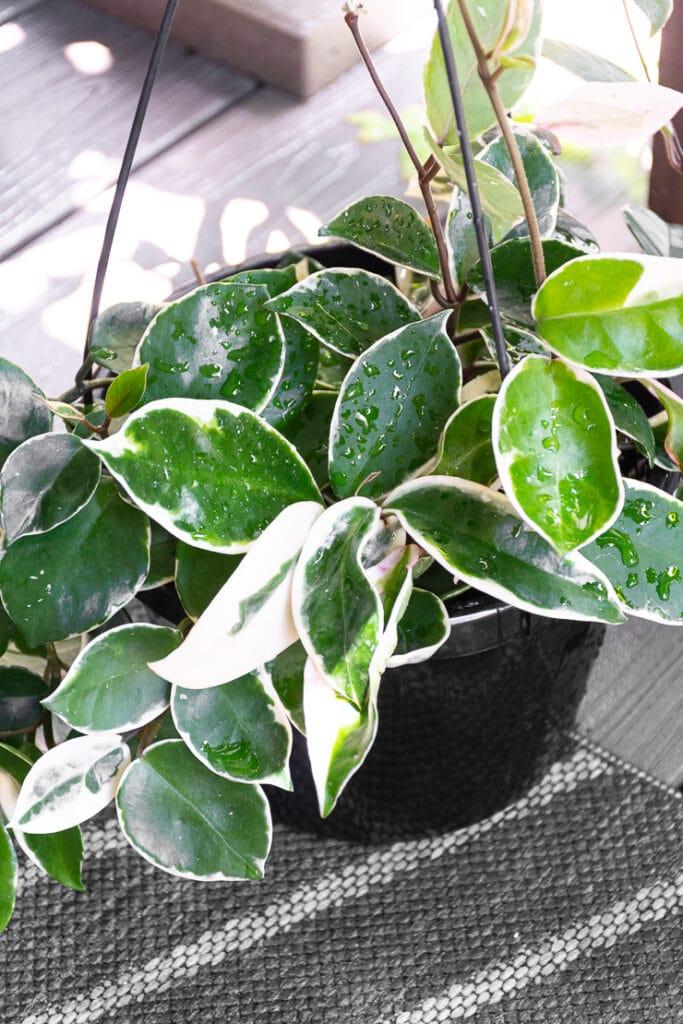 beautiful hoya carnosa krimson queen plant in a hanging basket