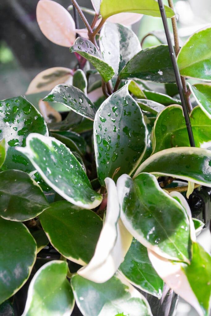 hoya carnosa krimson queen foliage