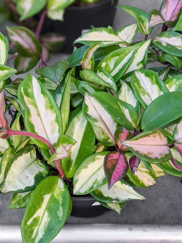 beautiful hoya carnosa krimson princess plant