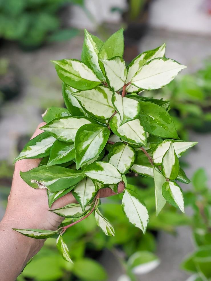 hoya krimson princess plant