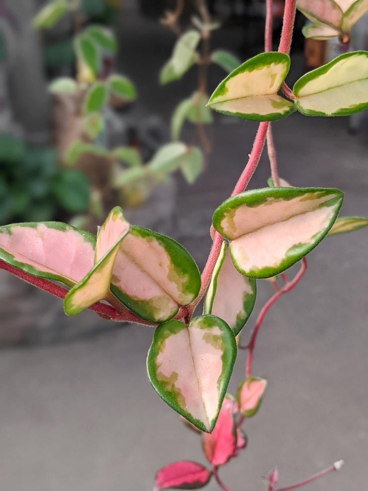 hoya carnosa krimson princess leaves