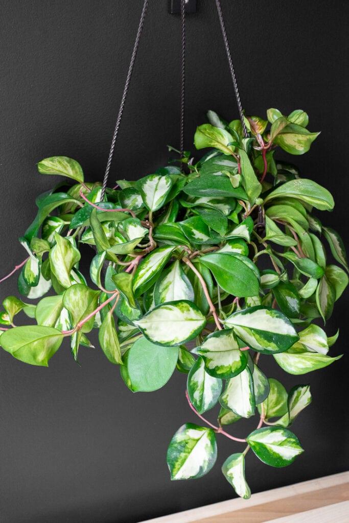 hanging hoya krimson princess plant