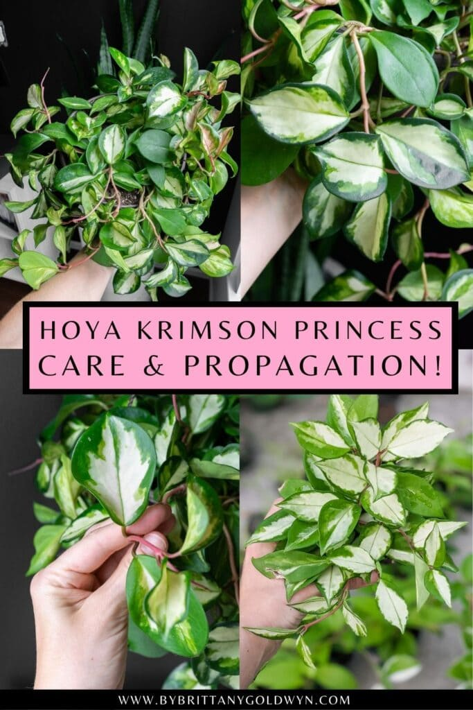 pinnable graphic about hoya krimson princess care and propagation including images and text overlay
