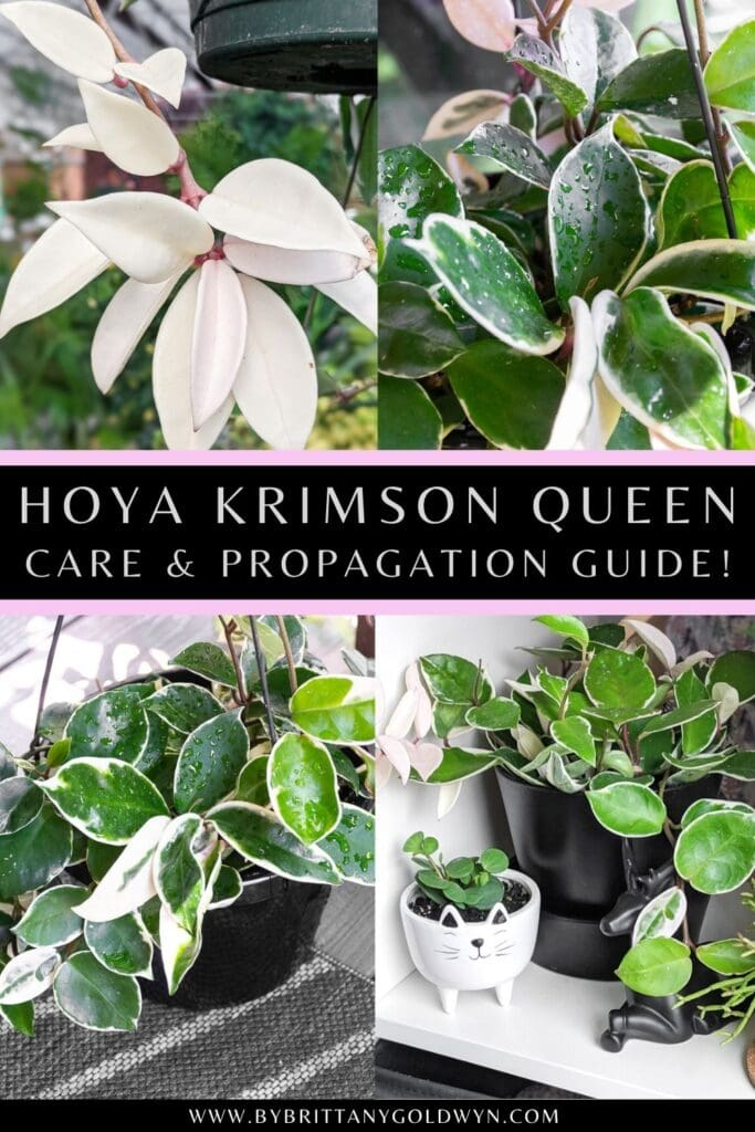 pinnable graphic about hoya carnosa krimson queen care and propagation including images and text overlay