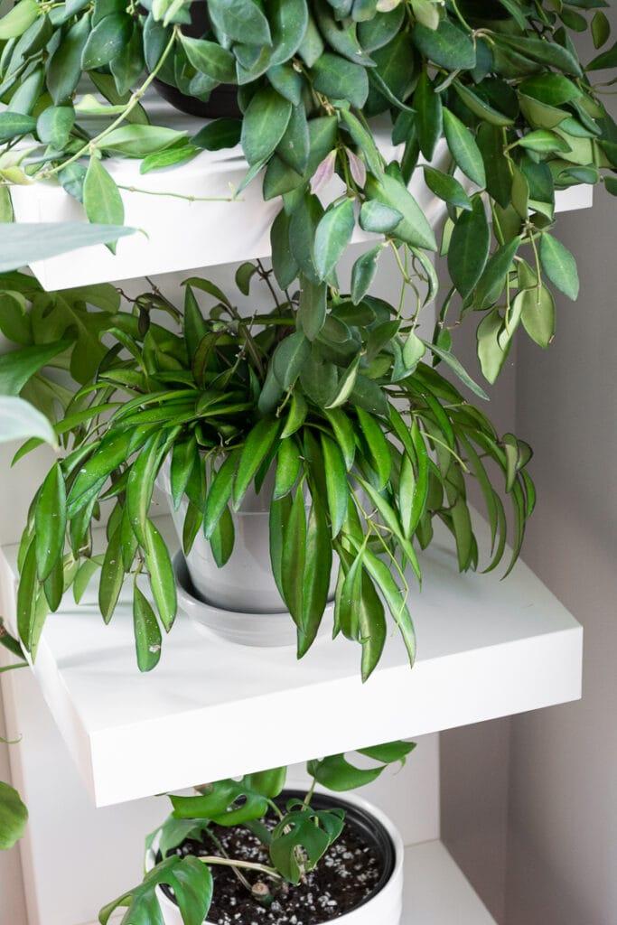 hoya wayetii plant in a gray pot on white shelving