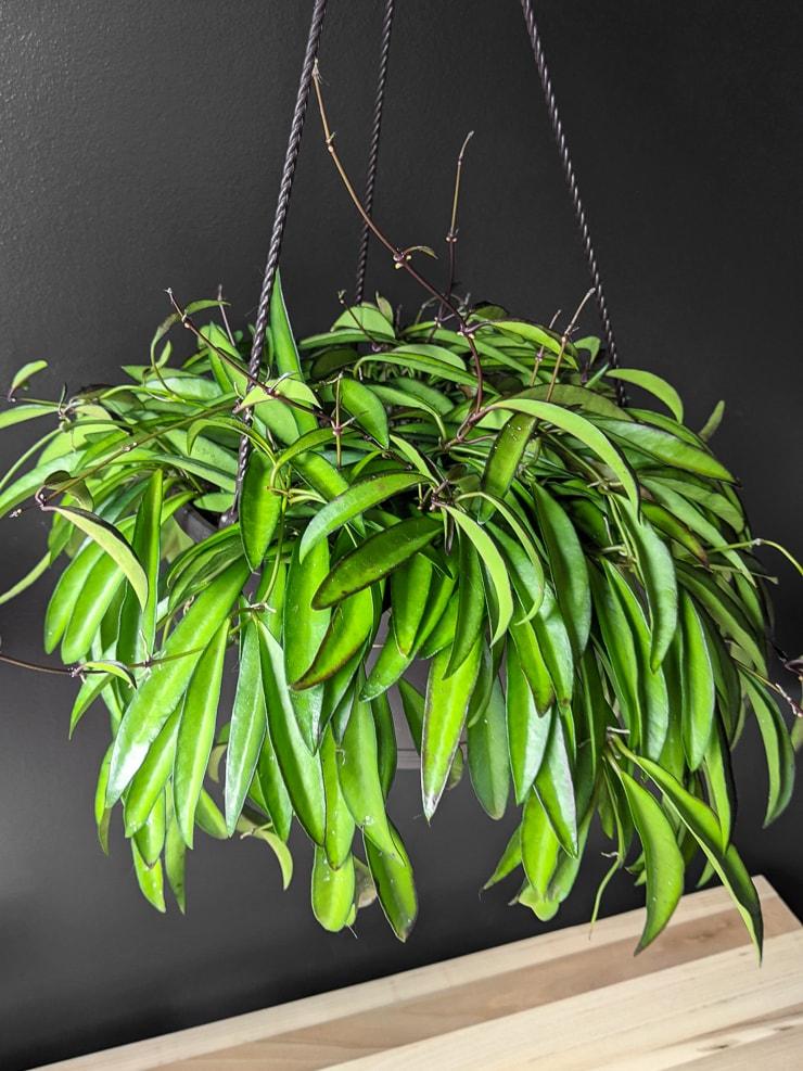 large and very full hoya wayetii plant