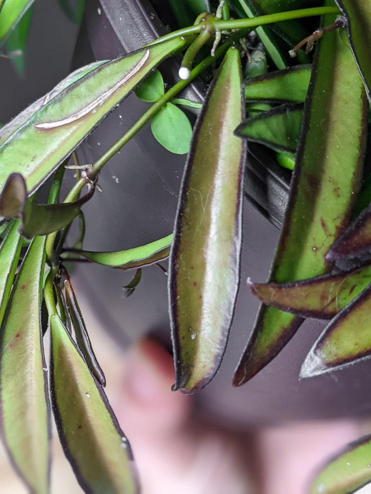 closeup shot of hoya wayetii foliage with brown edges burned from the sun