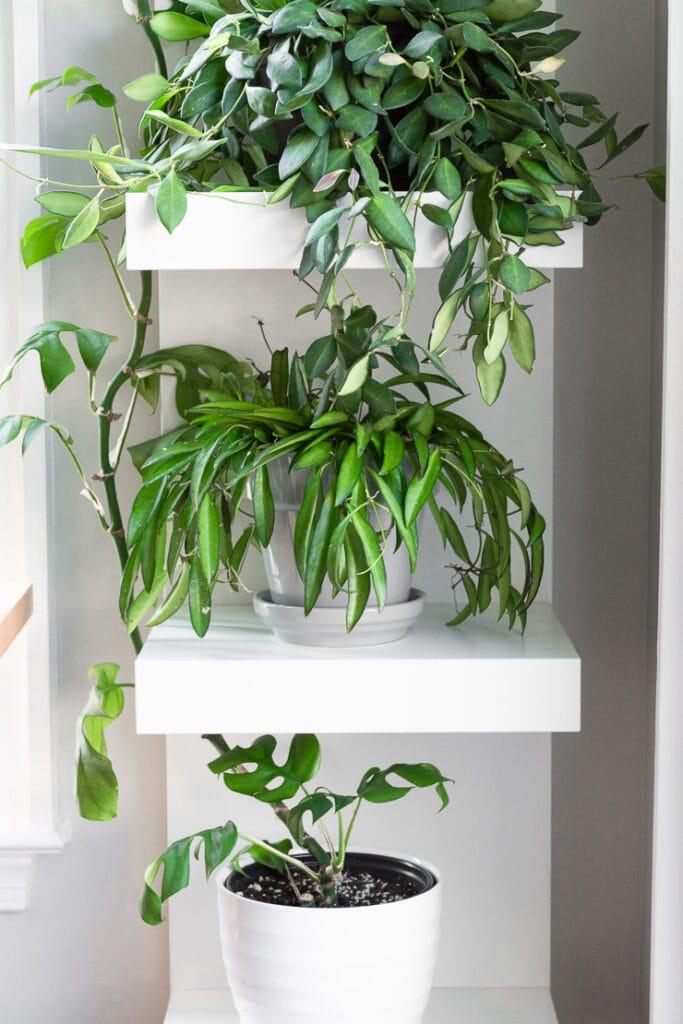 hoya wayetii plant on white ikea shelving