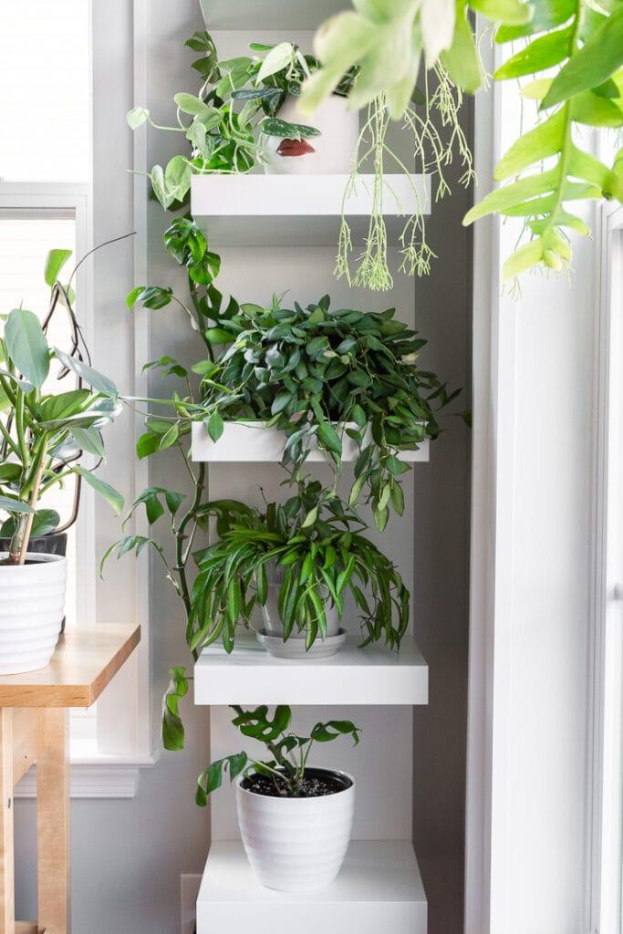 hoya plants on white shelving