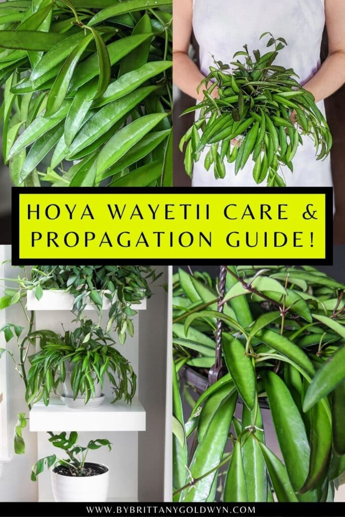 pinnable graphic about hoya wayetii care and propagation including images and text overlay
