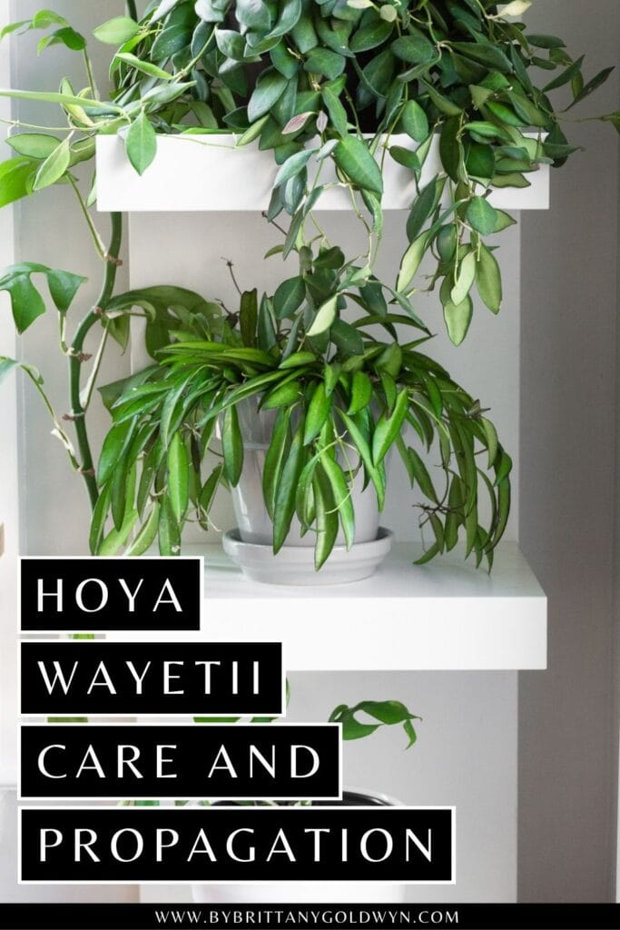 pinnable graphic about hoya wayetii care and propagation including an image and text overlay