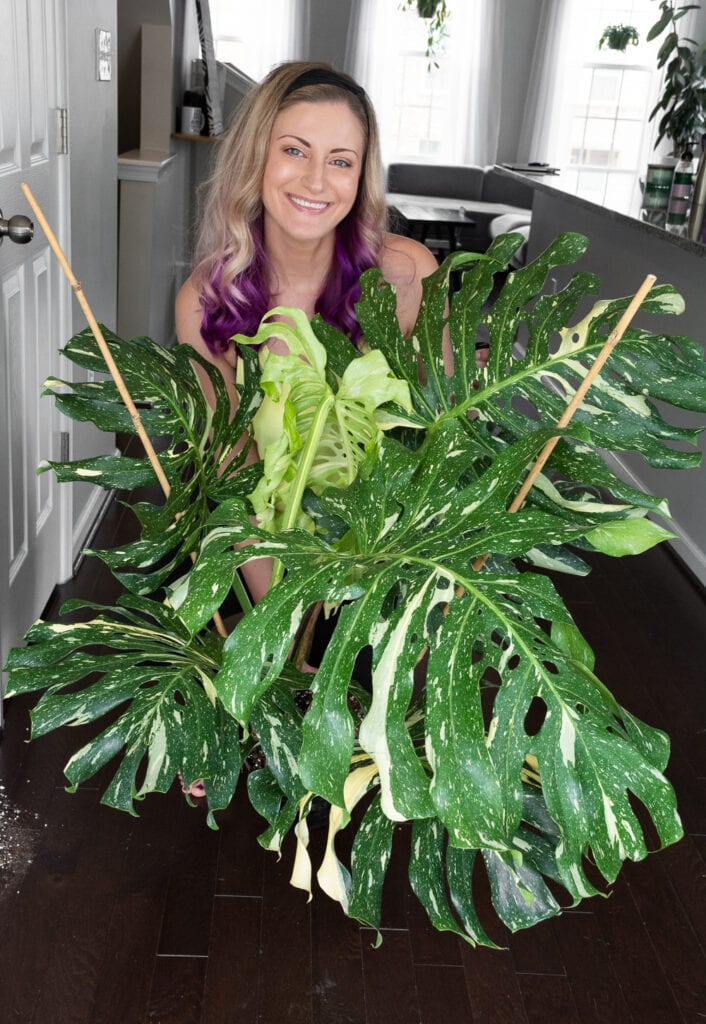 woman with a large Thai constellation monstera plant
